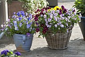 Basket with viola cornuta (horn violet) in red, light purple and blue