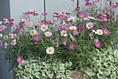 Argyranthemum frutescens 'Bubblegum Blast' and Glechoma