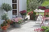 Terrace with Olea europaea, Argyranthemum frutescens