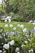 White tulips in the spring garden