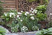 White tulips in the spring garden