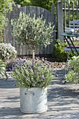 Olea europaea (olive trees) planted with baby lavender