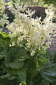 Rhubarb (pieplant) in bloom