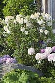 Rhododendron luteum 'Daviesii' (garden azalea, fragrant azalea)