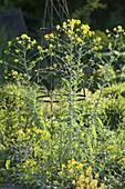 Isatis tinctoria (dyer's woad) also 'German Indigo'