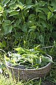 Nettle harvest for tea and smoothies