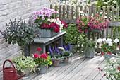 Terrasse mit Balkonblumen und Kräutern : Strauch-Basilikum 'African Blue'