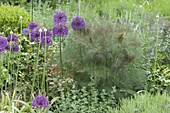 Allium aflatunense 'Purple Sensation', bronze fennel