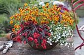 Bowl with Calceolaria (slipper flower), Begonia 'Dark Elegance'