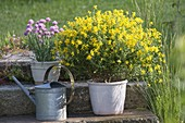 Genista germanica (German broom) and chives