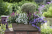 Wooden box with Veronica spicata 'Heathland', Calibrachoa