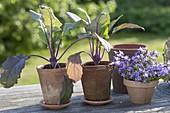 Blue Kohlrabi (Brassica) and Campanula (Bellflower)