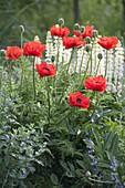 Papaver orientale 'Turkenlouis' (Turkish Poppy)