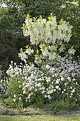 White early summer bed, Chionanthus virginicus