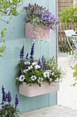 Kunststoffkaesten an die Wand gehängt : Osteospermum 'Double White