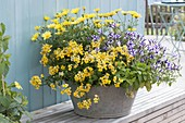Bowl with Nemesia Sunsatia 'Carambola', Argyranthemum