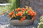 Begonia tuberhybrida 'Nonstop Orange' in a rustic shell
