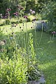 Cirsium rivulare 'Atropurpureum' purple-thistle