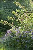 Geranium pratense 'Johnson's Blue' with Weigelia florida