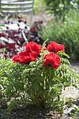 Bright red Papaver orientale 'Carmen' (Turkish Poppy)