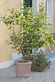 Citrus limon (lemon) in terracotta bucket beside house entrance
