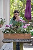 Pelargonium zonal 'Moonlight Katy', Diascia Breezee