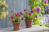 Small pink (dwarf rose) in clay pots