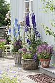 Delphinium elatum 'Merlin' light blue, 'Opal' deep purple, Salvia