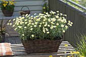 Basket Box with Argyranthemum frutescens 'Courtyard Citronelle'
