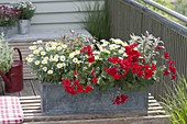 Zinc balcony box with Pelargonium Caliente 'Dark Fire'