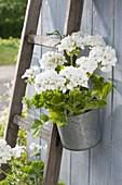 Pelargonium zonal 'Savannah White' in zinc pot