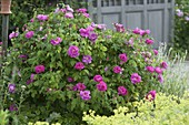 Rosa gallica officinalis, historical, once-blooming, fragrant