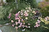 Rosa 'Aprikola' (Beetrose), oefterbluehend, robust, ADR-Rose