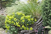 Pebble bed with Euphorbia cyparissias and Stipa