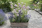 Sidalcea malviflora 'Elsie heugh' (prairie salve) with lavender