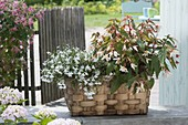 Wicker basket with plants for the partial shade, Lobelia erinus