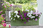 Green wooden box with Osteospermum 'Double White Lavender Center'