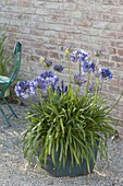 Agapanthus africanus, on gravel terrace