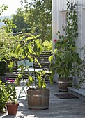 Real fig tree (Ficus carica) in wooden tub on the terrace