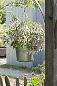 Zink bucket as hanging plante with Campanula punctata 'Pink Octopus'