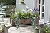 Wooden box with Leucanthemum maximum hybrid 'Stina'