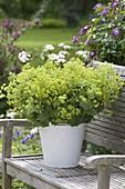 Lush bouquet of Alchemilla mollis
