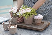 Terracotta pots with roses and alchemilla (lady's mantle)