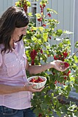 Woman picking redcurrants (Ribes rubrum)