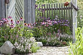 Small bed on the tool shed with Echinacea purpurea