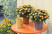 Bracteantha Sunbrella 'Orange' syn. Helichrysum (straw flower)