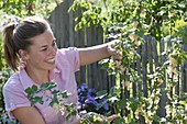 Woman picking white currants 'Weisse Versailler'