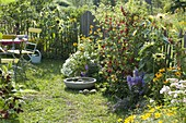 Small garden with Helianthus annuus, redcurrants