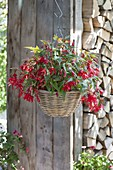 Hanging Basket with Begonia Boliviensis Waterfall 'Sparkler Red'