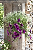 Basket flower basket with Petunia 'Merlot' and Lobularia